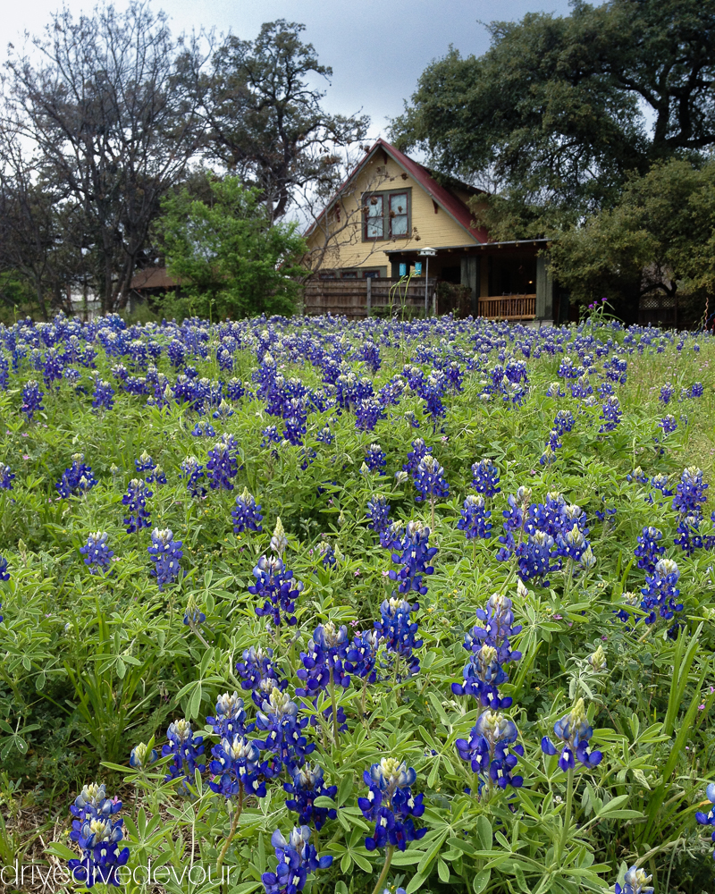 Bluebonnets in Austin