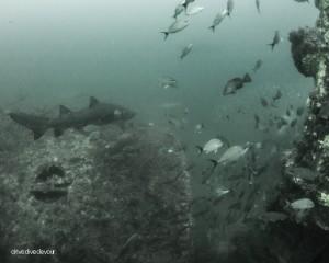 sharks-3