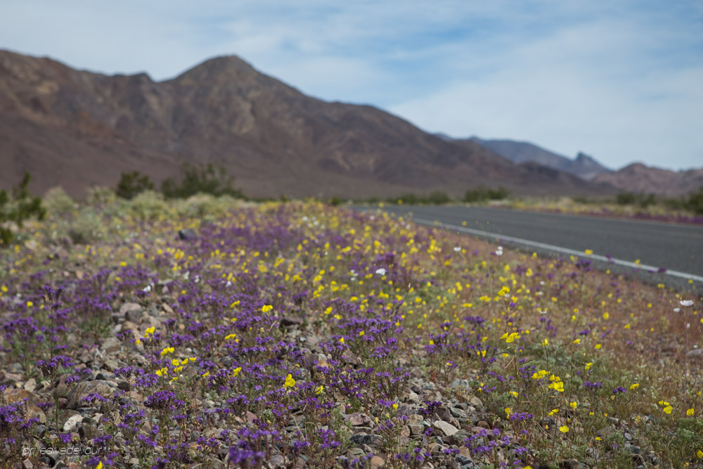 Death valley super bloom day 2 canyon roads and more flowers mightylinksfo