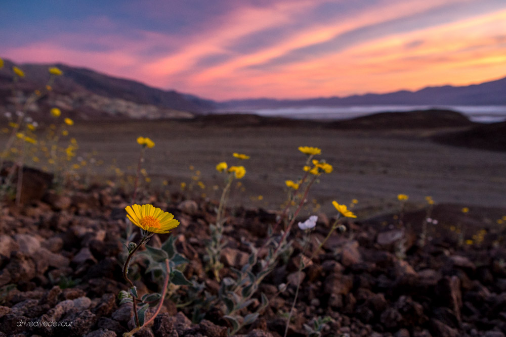 Death Valley super bloom sunset